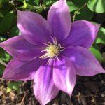 Field Trip - Lyndy Broder's Stockbridge Clematis Garden