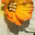 Gwinnett Co. Master Gardeners - A Century of Daffodil Hybridizing @ The Bethesda Senior Center